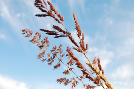 Getreide und blauer Himmel.