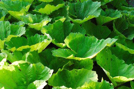 Las plantas con grandes hojas redondas.  Foto de archivo - 1281803