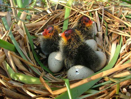 Nest von der Bl��huhn Lizenzfreie Bilder