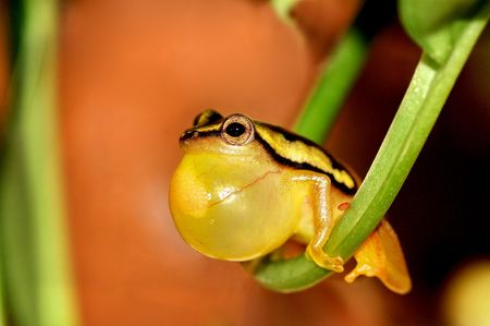 A yellow male frog, trying to attract females.