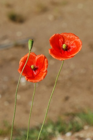 Beautiful red poppies blooming photo