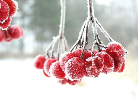 The red rimed berry. Red berry during the winter cold foggy morning covered by icicles. Stock Photo