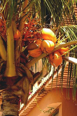 Yellow Coconuts Palm. Very popular in Venezuela palm tree with yellow colored coconuts.