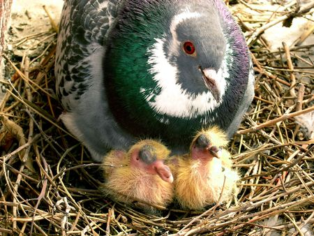 Parent pigeon and hatchlings. Two  pigeons and an old pigeon guarding them.