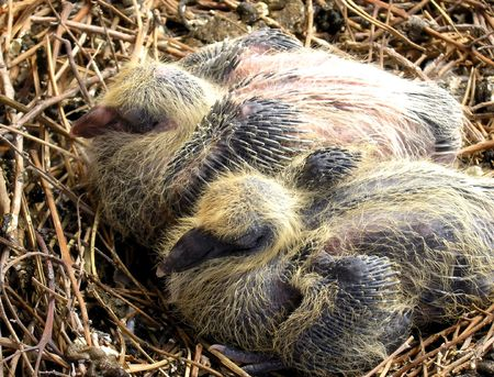 grown up: The growing up hatchlings. Two already grown up  pigeons in the nest.