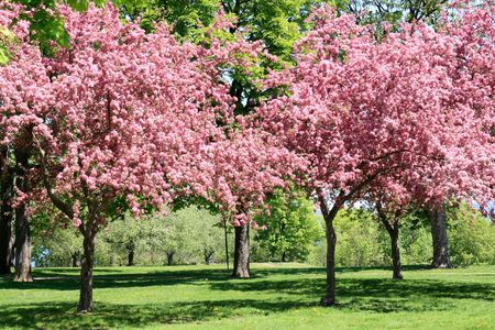 Blooming Cherry Garden. Cherry trees rich covered by beautiful pink blossoms in May fruit garden.