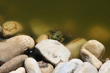 part frog: Picture of small green frog part on the stone, part in the water waiting for moment to go over the rock.
