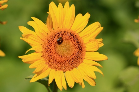 landed: Single bloom sunflower with bee landed on