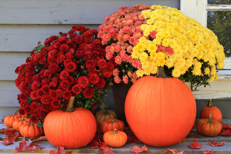 Picture of beautiful arrangement of typical for Autumn and Thanksgiving pumpkins, mini pumpkins and red, yellow and pink fall mums in front of country old wooden home used as background Stock Photo
