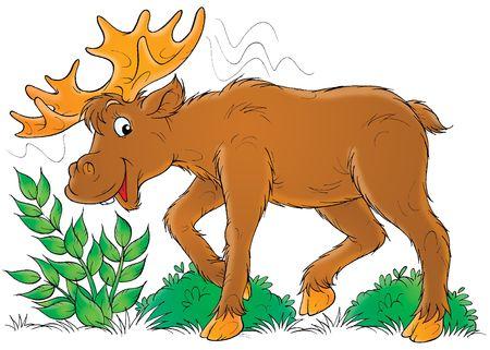 big moose: Elk