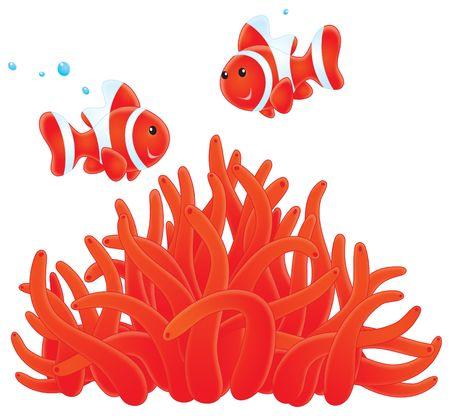 actinia: Anemonefishes y lindeniana  Foto de archivo