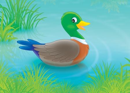 mallard duck: Wild duck swimming in a pond