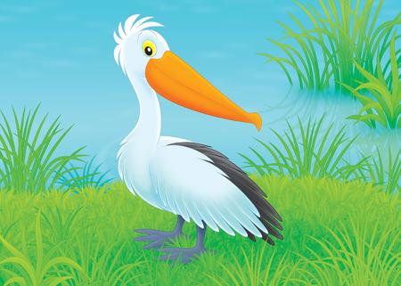 lakeside: Pelican on a lakeside