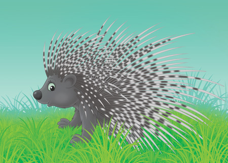 spiny: Spiny porcupine walking in green grass