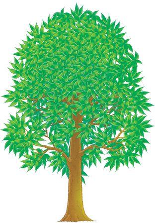 broadleaved tree: Green Tree Stock Photo