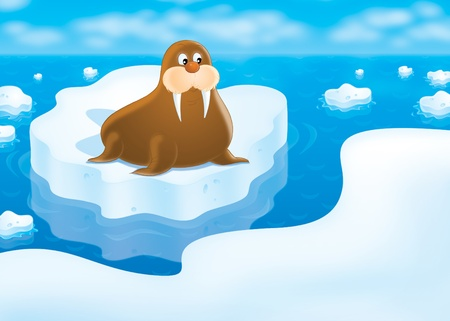 floe: walrus lying on the drifting ice floe