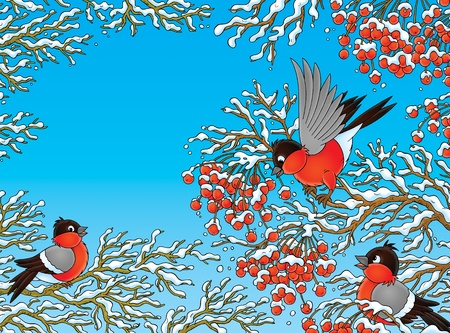 perching: flock of bullfinches perching on rowan branches  Stock Photo