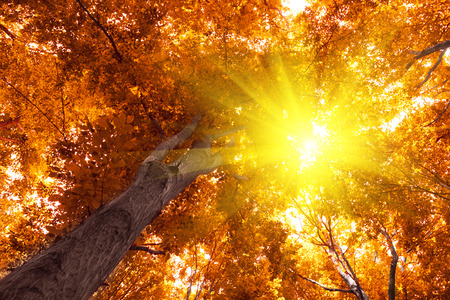 Yellow leaves of autumn trees and sunshine Stock Photo