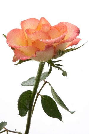 Pink rose on white with water drop on petal photo