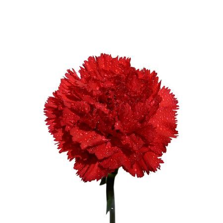 carnations: Red carnation flower on a white background Stock Photo