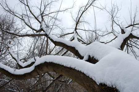An inclined tree covered in a lot of snow after a snowfall in winter in Kiev, Ukraine Stock Photo - 342196