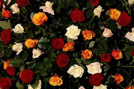 White orange and red roses on black background photo