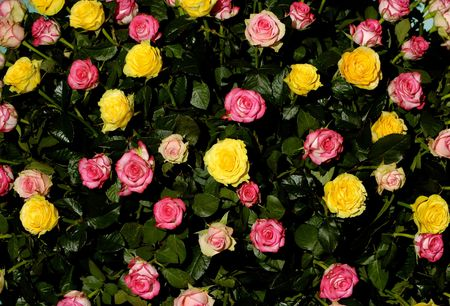 Pink and yellow roses on black background photo