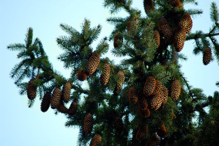 Fir tree branches with cones christmass background photo