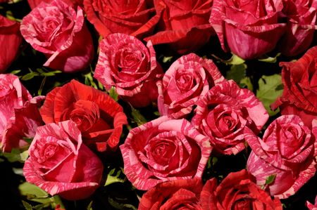 Red white striped roses organic background photo