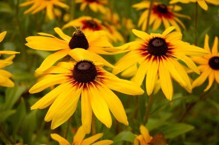 susan: Gloriosa Daisy Rudbeckia hirta Black-Eyed Susan flowers
