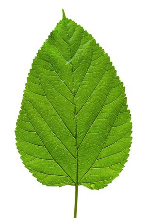 upclose: Big green tree leaf texture isolated on white background
