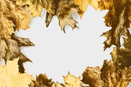 Frame made from yellow dry maple and oak leaves on white background photo