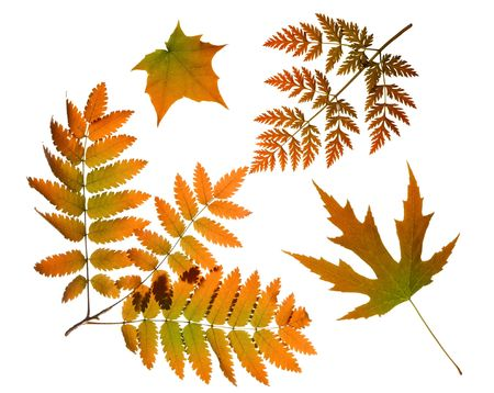 Red autumn tree leaves nature collection isolated on white background photo