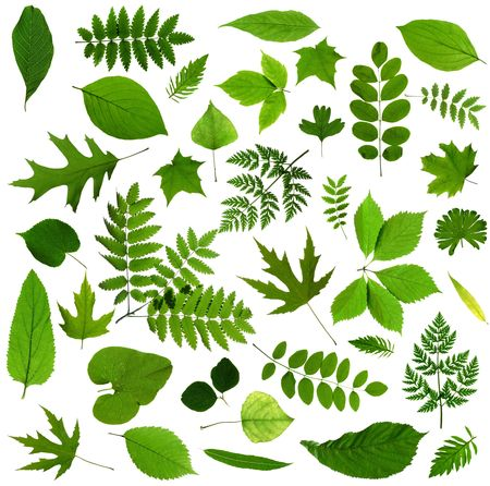 All sorts of green leaves from trees and shrubs isolated on white background photo