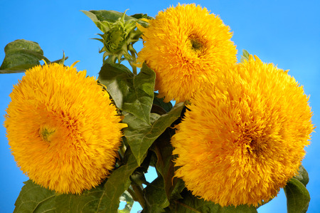 helianthus annuus: Giant Sungold hybrid sunflowers - Helianthus annuus - Sungold Teddy Bear sunflowers Stock Photo
