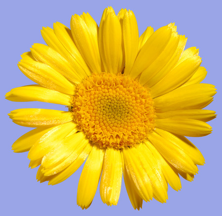 upclose: Yellow daisy-type flower close-up texture Isolated on light blue background with a clipping path