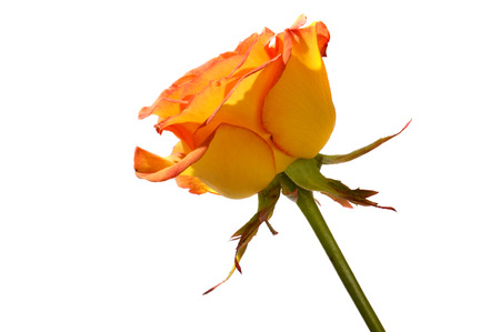 orange rose: Orange rose side view closeup Isolated silhouette on white backgrounds