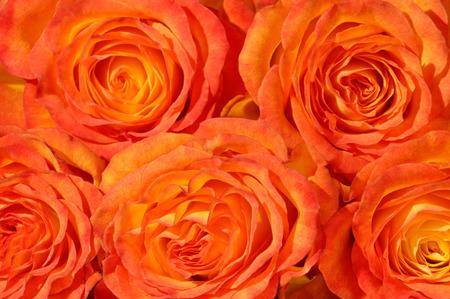 rosas naranjas: Manojo de rosas de color naranja de fondo macro de cerca Foto de archivo