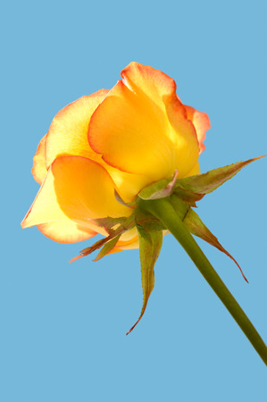 yeloow: Yellow rose side bottom view closeup Isolated silhouette on light blue backgrounds
