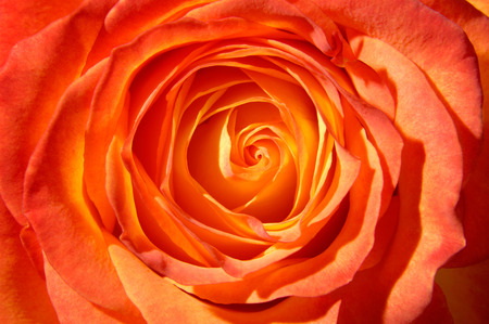 orange rose: Orange rose top view closeup macro background Stock Photo
