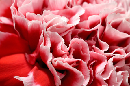 carnations: Closeup of beautiful pink peony flower petals. Abstract detail background.