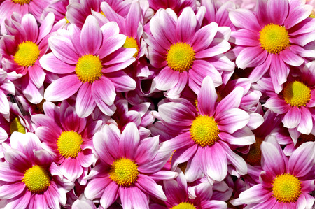 upclose: Artistic floral background with colorful purple white yellow chrysanthemums daisy flowers Stock Photo