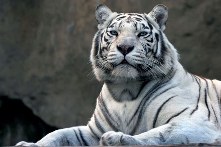 tigre blanc: bengali tigre dans le zoo