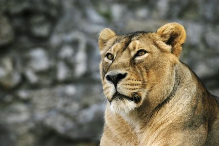 supercilious: portrait of the young lioness with supercilious glance