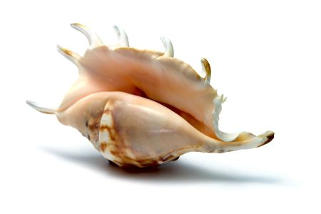 isolated shell on the white background photo
