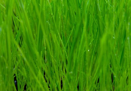 dewed: background made of dewed grass Stock Photo