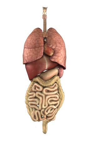 intestines: 3D render depicting the internal organs of the human body. Stock Photo