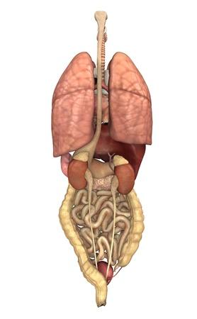 3D render depicting the internal organs as seen from behind.