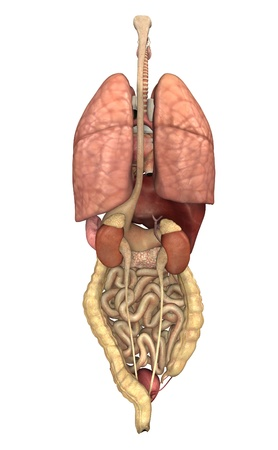 organi interni: 3D rendering raffigurante gli organi interni, come si � visto da dietro.
