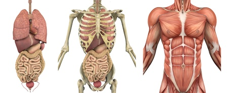 A series of overlays depicting the internal organs, skeleton and muscles. These images will line up exactly, and can be used to study anatomy. They can also be used to create your own illustrations - the possibilities are endless! Stock Photo